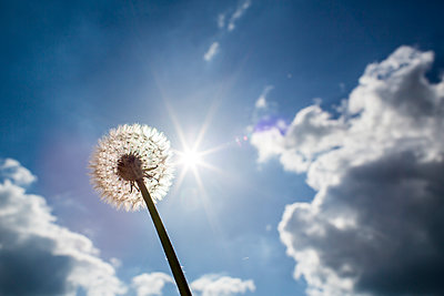 A single dandelion head with seeds being bloan away on a gust of wind set aginst a bright sunny sky with light cloud. - p1057m1573118 by Stephen Shepherd