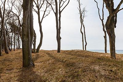 Küstenwald am Weststrand von Darß - p1168m1525822 von Thomas Günther