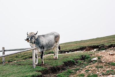 Kuh mit herausgestreckter Zunge - p1357m1475209 von Amadeus Waldner