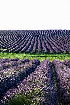 Lavendelfeld, bei Valensole, Plateau de Valensole, Alpes-de-Haute-Provence, Provence, Frankreich - p1316m1161018 von Daniel Schoenen