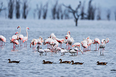 Flamingos - p533m1152675 by Böhm Monika