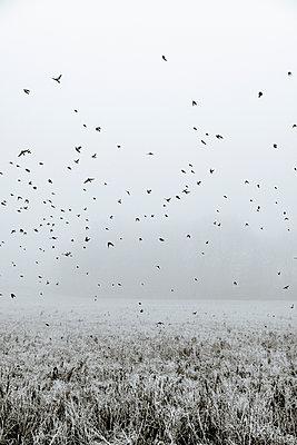 Vögel fliegen über ein gefrorenes Feld - p1057m2237832 von Stephen Shepherd