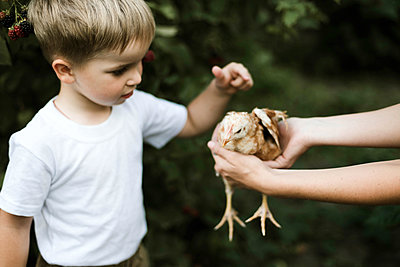 Little boy touches a chicken on a farm. - p1166m2094833 by Cavan Images
