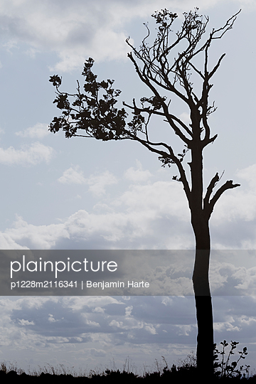 Silhouetted wind swept tree - p1228m2116341 by Benjamin Harte