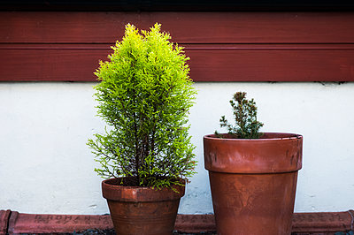 Two fir trees in disproportionately sized pots - p1047m1131870 by Sally Mundy
