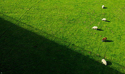 Sheep grazing on the floodlands - p1132m925511 by Mischa Keijser