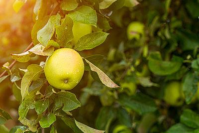 Germany, apple in tree - p300m2042213 by JLPfeifer