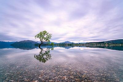 Lone Tree of Lake Wanaka against cloudy sky, New Zealand - p300m2144356 by Scott Masterton