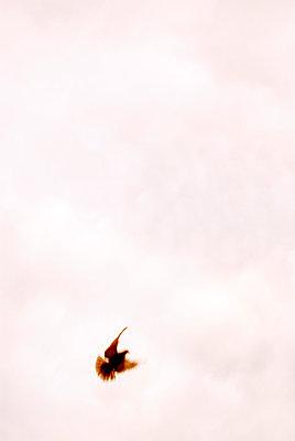 Bird in flight - p5970187 by Tim Robinson