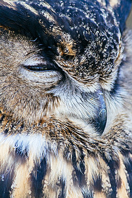Close-up of Eagle owl - p586m1109874 by Kniel Synnatzschke