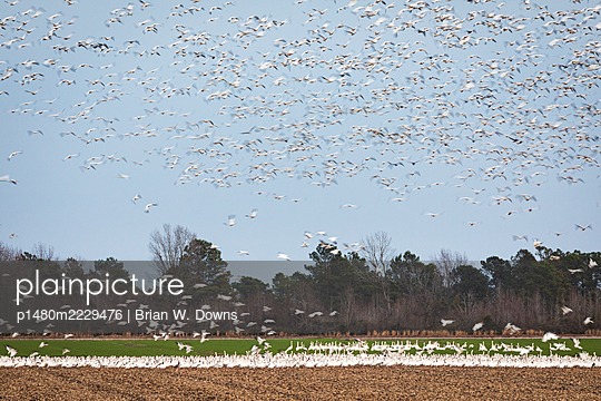 Flock of Snow Geese lifting off from field - p1480m2229476 by Brian W. Downs