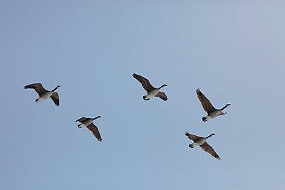 Wild goose - p2351250 by KuS