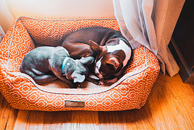 French bulldog puppy and boston terrier dog sleeping in dog bed together - p924m2068474 by Rebecca Nelson