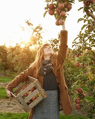 Frau pflückt Äpfel - p1124m1069636 von Willing-Holtz