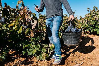 Mature man carrying bucket with black grapes in harvest - p300m2242436 by Ezequiel Giménez