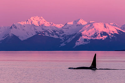 Orca whale (Orcinus orca) near Admiralty Island in Inside Passage with Coast Range in the background, Southeast Alaska; Alaska, United States of America - p442m2074285 by John Hyde