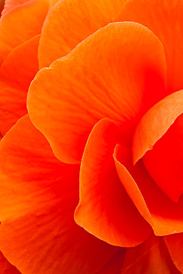 Macro View Of A Orange Begonia Flower During Summer - p442m884012f by John Delapp