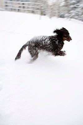 Tobender Hund im Schnee - p2481044 von BY