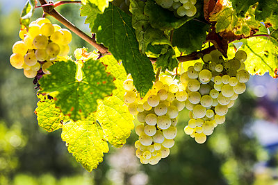 Close-up of a clusters of white grapes hanging from a vine, South of Trier; Germany - p442m2091927 by Michael Interisano