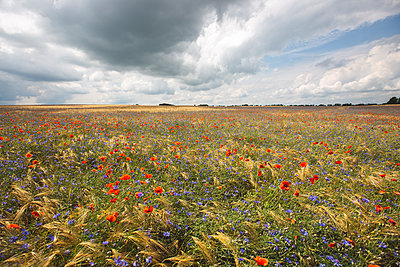 Clouds over poppies and cornflowers blooming in vast summer meadow - p300m2202455 by Anke Scheibe