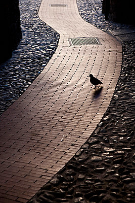 Pigeon on a pathway in a street in Liguria in Italy - p3313612 by Andrea Alborno