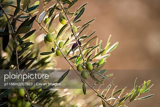 Olive tree branch in Morocco - p1166m2207923 by Cavan Images