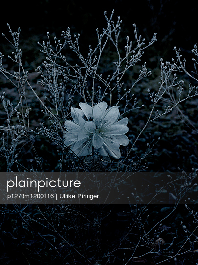 Eisblume - p1279m1200116 von Ulrike Piringer