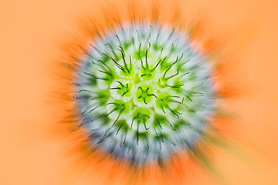 Abstract macro picture of the Pincushion flower - p1144m943741 by Misja Smits