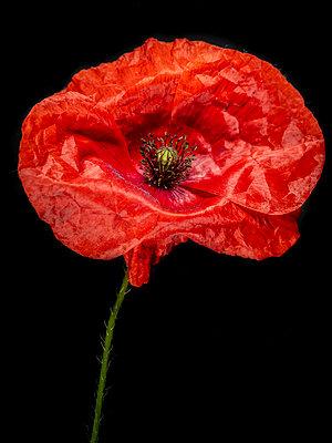 Poppy blossom - p401m2185701 by Frank Baquet