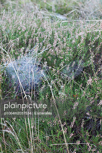 Heide am Morgen - p1064m2037534 von Esmeralda