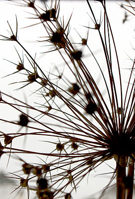 Allium seedhead - close up 1 - p1072m899476 by Gail Symes