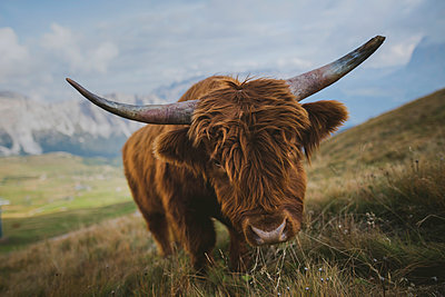Italy, Dolomite Alps, Highland cattle in pasture in Dolomite Alps - p1427m2202247 by Oleksii Karamanov