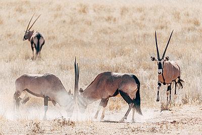 Kämpfende Onyxantilopen, Kalahari, Afrika - p1065m982605 von KNSY Bande