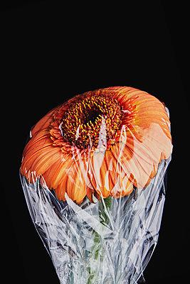 Gerbera under plastic - p1540m2185329 by Marie Tercafs