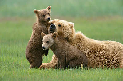 Grizzly Bear 4 month old cubs trying to engage mother in play - p884m863057 by Yva Momatiuk & John Eastcott