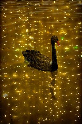 Black swan - p1028m1586019 by Jean Marmeisse
