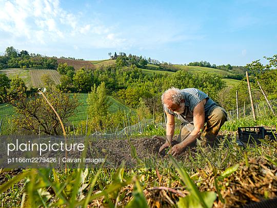 Fit senior farmer preparing and raking soil for organic zucchini - p1166m2279426 by Cavan Images