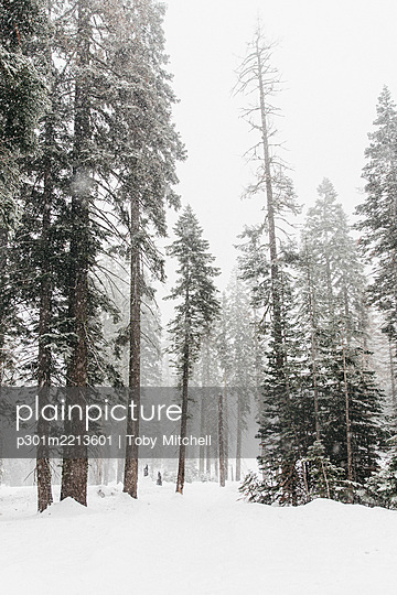 Snow covered trees, Yosemite National Park, Yosemite, California, USA - p301m2213601 by Toby Mitchell