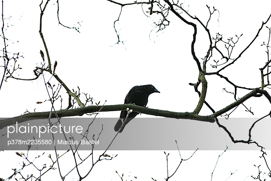 Silhouette of crow on tree branch - p378m2235580 by Marcus Bastel