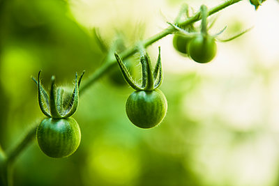 Closeup Cherry Tomatoes on the vine in a home garden - p1166m2201575 by Cavan Images