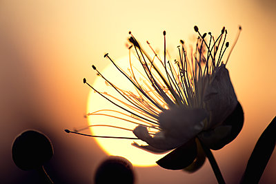 Caper flower in front of the setting sun - p1580m2191510 by Andrea Christofi
