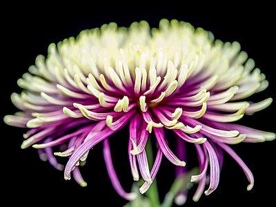 Chrysanthemum flower - p401m2272881 by Frank Baquet