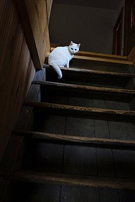 Weisse Katze auf der Treppe eines Bauernhaues - p627m1035416 von Christian Reister