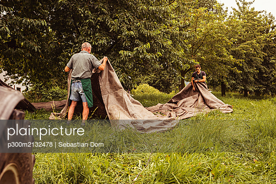Two men during cherry harvest in orchard, laying out tarpaulin - p300m2132478 by Sebastian Dorn