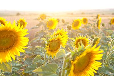 Leuchtende Sonnenblumen - p533m1496774 von Böhm Monika