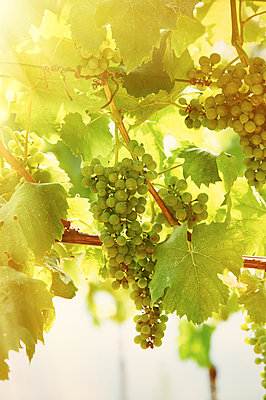 Grapes against the light - p851m1362538 by Lohfink