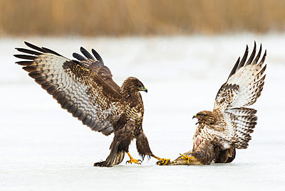 Common Buzzard pair fighting in snow, Feldberg, Germany - p884m1509979 by Martin Steenhaut/ Buiten-beeld