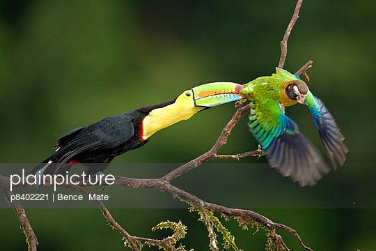 Keel-billed Toucan attacking a Brown-hooded Parrot