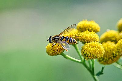 Biene auf einer gelben Blume - p1696m2296544 von Alexander Schönberg