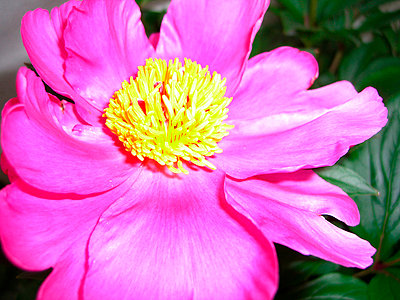 pink flower  - p5670061 by Norma Ericsson